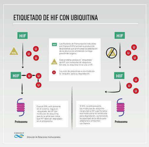 Etiquetado de Hif con ubiquitina